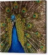 Peacock Glow Canvas Print