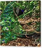 Peacock Hiding Canvas Print