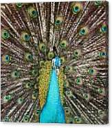 Peacock Plumage Feathers Canvas Print