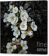 Pear Blooms And Tree Canvas Print