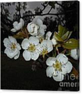 Pear Blooms Canvas Print