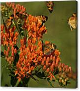Pearly Crescentpot Butterflies Landing On Butterfly Milkweed Canvas Print