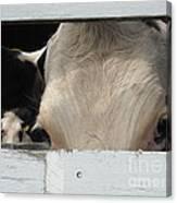 Peek-a-boo Cow Canvas Print