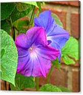 Peek-a-boo Morning Glories Canvas Print