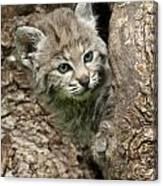 Peeking Out - Bobcat Kitten Canvas Print