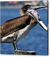 Pelican I Canvas Print