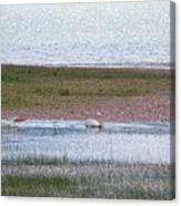 Pelican Pair Canvas Print