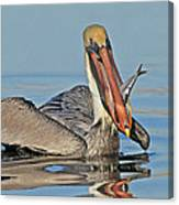 Pelican With Catch Canvas Print