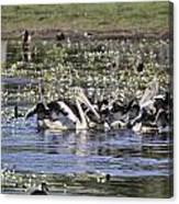 Pelicans At Knuckey Lagoon Canvas Print