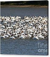 Pelican's Feeding Canvas Print