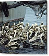 Pelicans Float In Water Near A Shrimp Canvas Print