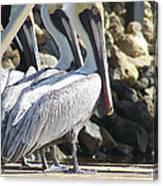 Pelicans Of Keaton Beach Canal Canvas Print