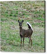 Pennsylvania White Tail Deer Canvas Print