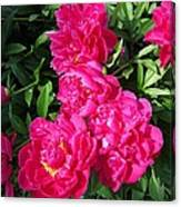 Peony Named Karl Rosenfield Canvas Print