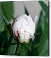 Peppermint Peony Canvas Print