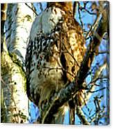 Perched Hawk Canvas Print