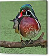 Perched Wood Duck Canvas Print