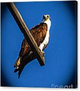 Perching Osprey Canvas Print
