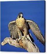 Peregrine Falcon On Perch Canvas Print