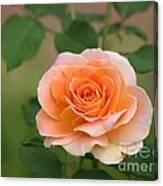 Perfect Peach Petals Canvas Print