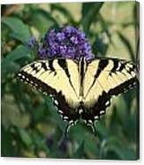 Perfectly Aligned Butterfly On Butterfly Bush Canvas Print
