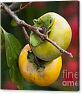 Persimmon Canvas Print