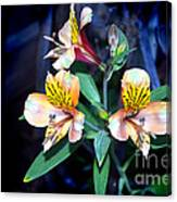 Peruvian Lily In My Garden Canvas Print