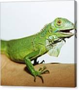 Pet Iguana Canvas Print