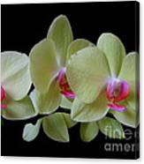 Phalaenopsis Fuller's Sunset Orchid No 1 Canvas Print