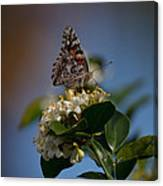 Phaon Crescent Butterfly Canvas Print