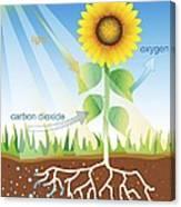 Photosynthesis, Illustration Canvas Print