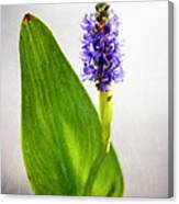 Pickerel Blue Pontederia Cordata Canvas Print