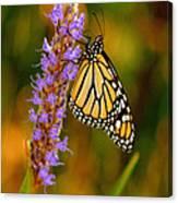 Picky Monarch Canvas Print