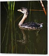 Pied-billed Grebe In The Reeds Canvas Print