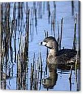 Pied-billed Grebe, Montreal Botanical Canvas Print
