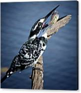 Pied Kingfisher Eating Canvas Print