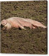 Pig In Mud Canvas Print