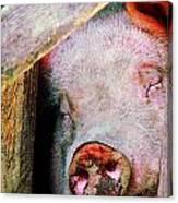 Pig Sleeping Canvas Print