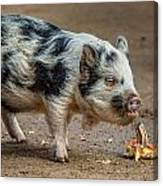 Pig With An Attitude Canvas Print