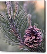 Pine Cone At Sundown Canvas Print