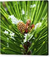 Pine Cone Cloeup Canvas Print