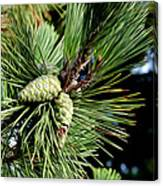 Pine Cones In A Pine Tree Canvas Print