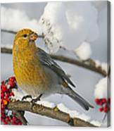Pine Grosbeak Pinicola Enucleator Canvas Print