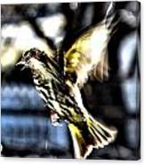 Pine Siskin In Flight Canvas Print