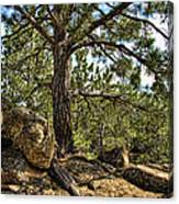 Pine Tree And Rocks Canvas Print