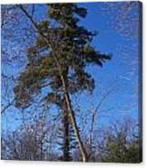Pine Tree Standing Tall Canvas Print