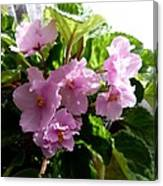 Pink African Violets Canvas Print