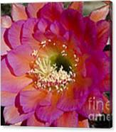 Pink And Orange Cactus Flower Canvas Print