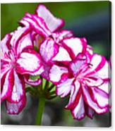 Pink And White Geraniums Canvas Print