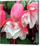 Pink And White Ruffled Fuschias Canvas Print